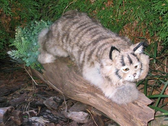 Bobcat Lynx Cheetah Leopard Black Panther